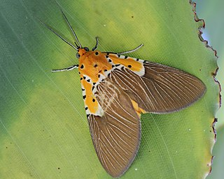 Aganainae subfamily of insects