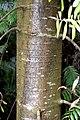 Agathis australis in Auckland Botanic Gardens 03.jpg