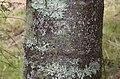 Agathis australis in Eastwoodhill Arboretum.jpg