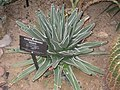 Agave ferdinandi-regis - Buffalo and Erie County Botanical Gardens - 1-10 - IMG 3550.JPG