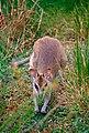 Agile Wallaby (Macropus agilis) (9854672445).jpg