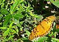 Agraulis vanillae - Flickr - Alex Popovkin, Bahia, Brazil (5).jpg