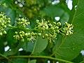 Ailanthus altissima 003.JPG