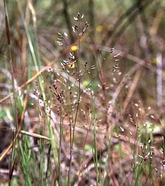 Poeae - Silver hairgrass (Aira caryophyllea)