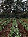Alamar Organic Farm crops.jpg