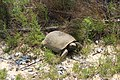 Alapaha River Wildlife Management Area turtle.jpg