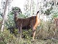Alarmed sambar doe Nilgiris AJTJ.jpg