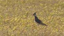 File:Alarmerende kievit in bloemrijk grasland-4961654.webm