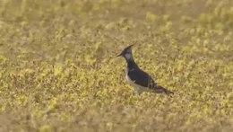 Bestand:Alarmerende kievit in bloemrijk grasland-4961654.webm