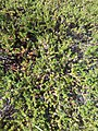Alaskan Crowberry from alpine-tundra regions.jpg