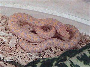 Checkered garter snake - Albino checkered garter snake