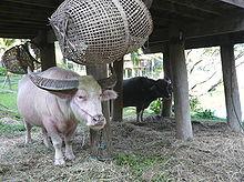 Un esemplare di bufalo indiano albino in Thailandia