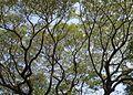Albizia saman - Raintree at Mysuru.jpg