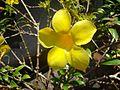 Allamanda flower.JPG