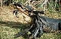 Alligator eating Bird, NPSPhoto (9247363371).jpg
