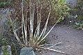 Allium pskemense GotBot 2015 001.jpg
