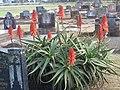 Aloe arborescens, Toowoomba Cemetery, Australia - panoramio.jpg