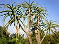 Aloe barberae 2c.JPG