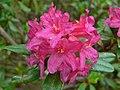 Alpenrose (Rhododendron ferrugineum) (8337455553).jpg