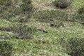 Alpine marmot - Marmota marmota - panoramio (1).jpg