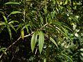 Alstonia venenata (8294491630).jpg