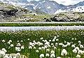 Alta Val Passiria - Laghetto intermorenico m 2640 (BZ) Fioritura di Eriophorum scheuchzeri - panoramio.jpg