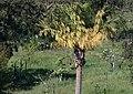 Alternance Livistona australis 2021.jpg