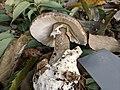 Amanita fuliginea Hongo 803897.jpg