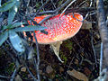 Amanita muscaria Habitus LaLoma SierraMadrona.jpg