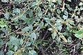 Amaranthus hybridus (30768815486).jpg