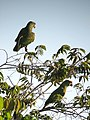 Amazona festiva Lora festiva Festive Parrot (16321778326).jpg