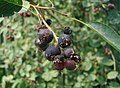 Amelanchier-spicata-berries.jpg