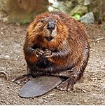 Image of: Imaginary Canada North American Beaver national Animal Castor Canadensis American Beaverjpg Wikipedia List Of National Animals Wikipedia