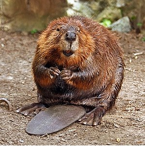 Beaver dam - North American beaver (Castor canadensis), one of two species of beaver that build dams
