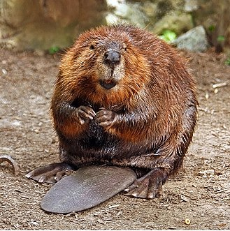 North American beaver - A male North American beaver