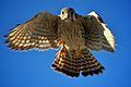 American Kestrel (Falco sparverius) (6852439460).jpg