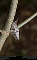 American Snout (Nymphalidae, Libytheana carinenta) (30421042404).jpg