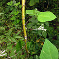 Amphicarpaea bracteata SCA-04715.jpg