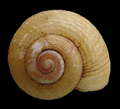 Amphicyclotulus dominicensis shell 2.png
