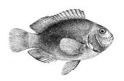 AmphiprionEphippium