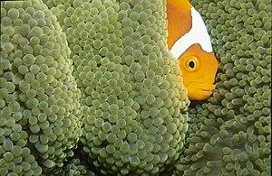 Amphiprion leucokranos - Image: Amphiprion leucokranos