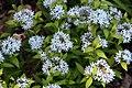 Amsonia tabernaemontana Blue Ice 0zz.jpg