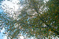 Anadolu sığla ağacı - Liquidambar orientalis.jpg