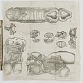 Anatomical diagrams from 'The Birth of Mankynde' Wellcome L0048000.jpg