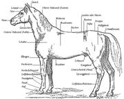 Anatomie eines Hengstes.