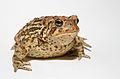 Anaxyrus americanus - American toad.jpg