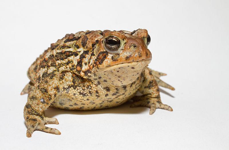 File:Anaxyrus americanus - American toad.jpg