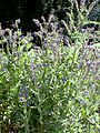 Anchusa officinalis2.jpg