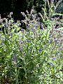 Anchusa officinalis2.jpg