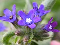 Anchusa officinalis (3704268138).jpg
